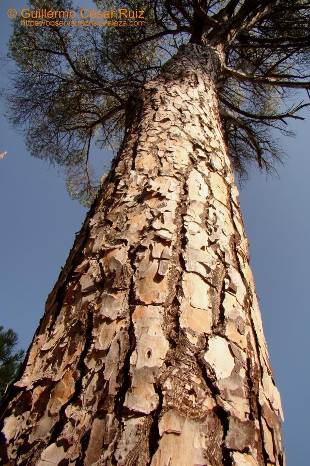 Pino piñonero Pinus pinea