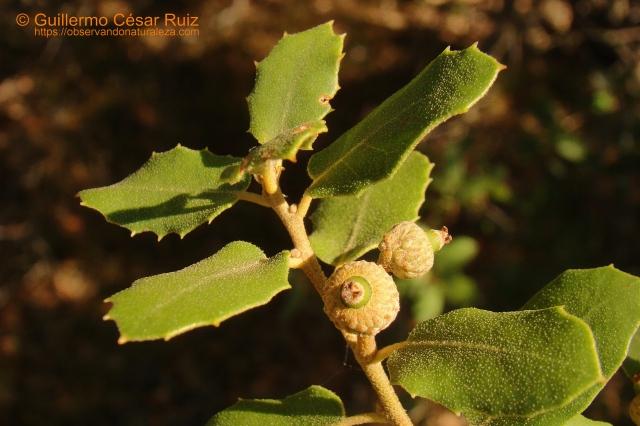 Quercus x auzandrii, bellotas
