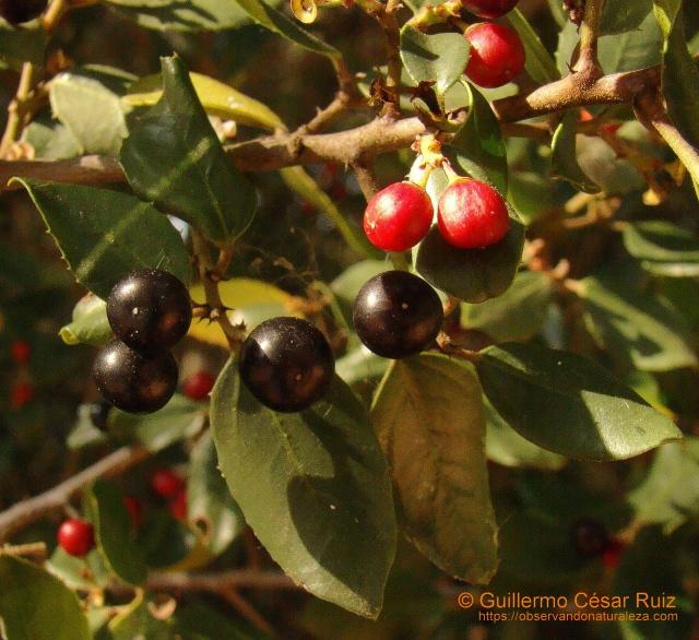 Aladierno,Rhamnus alaternus