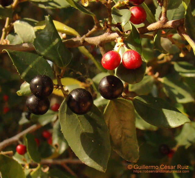 Rhamnus alaternus, maduración frutos