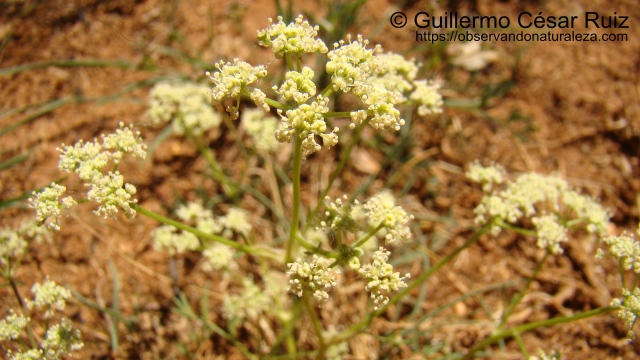 Trinia glauca subsp. glauca, detalle flores