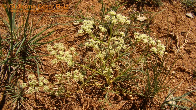 Trinia glauca subsp. glauca