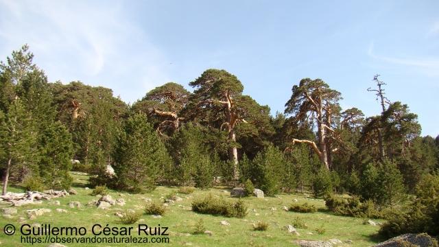 El bosque de los abuelos, Neila (Burgos)