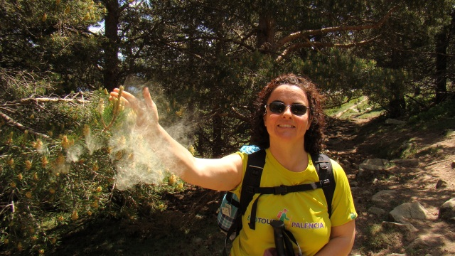 Dispersión anemócora del polen del Pinus Sylvestris, Picos de Urbión, Soria