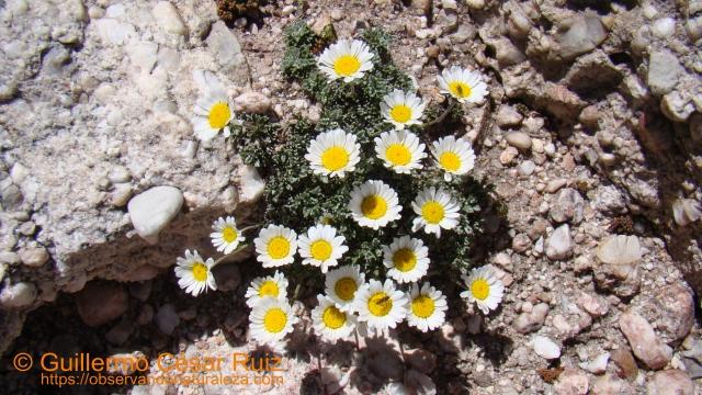 Margarita alpina, Leucamthemopsis alpina subsp. cuneata
