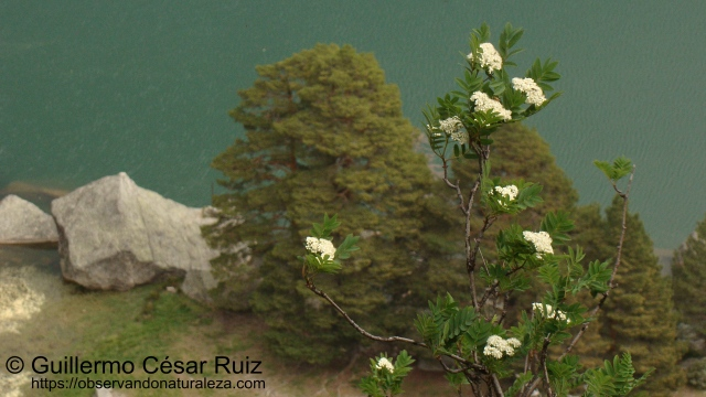 Serbal de los Cazadores, Laguna Negra, Soria