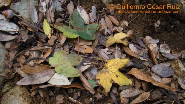 Arce menor, Acer campestre en los encinares cantábricos de Monte Buciero, Santoña