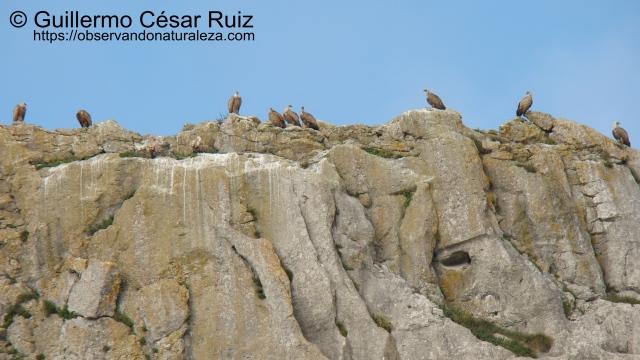 Colonia de buitres leonados, Gyps fulvus sobre las cresterias de la Llana de Llanegro en el Monte Candina