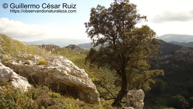 De Regreso descendiendo hacia la Hoya de Corteguera, otra vista de la encina cantábrica junto a la senda