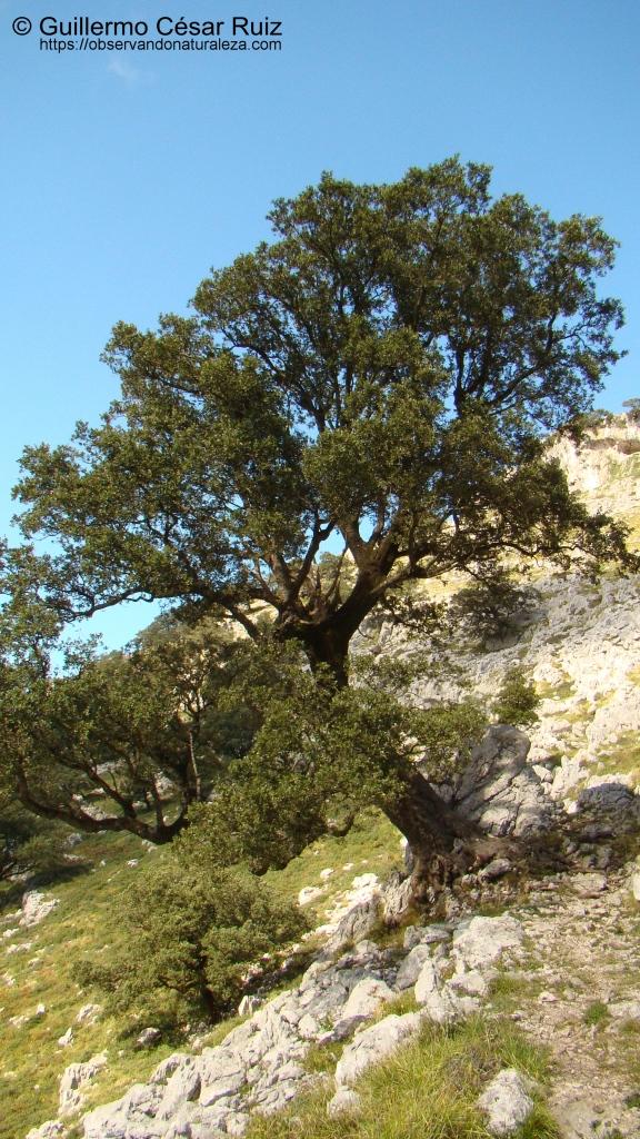 Encina cantábrica, Quercus ilex subsp ilex junto a senda ascensión a Monte Candina-Solpico
