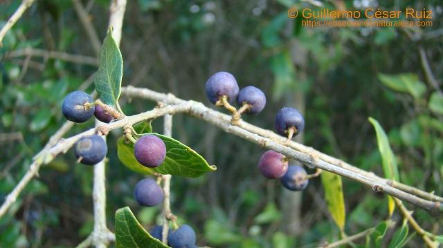 Frutos del labiérnago de hoja ancha, drupas negro azuladas en la madurez