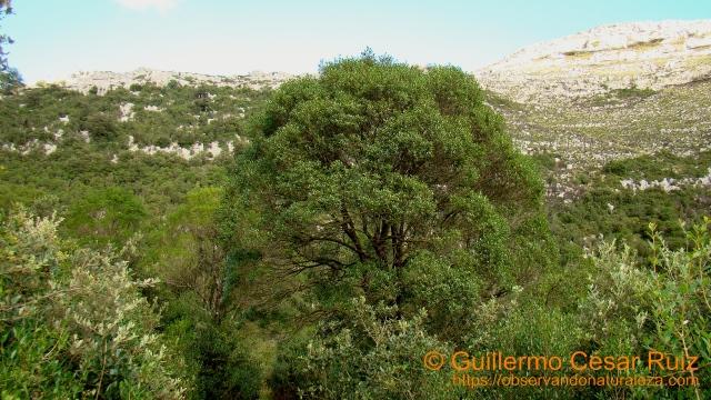 Hoya Cobañera, prebosques de labiernago, algunos ejemplares espectaculares