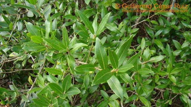 Labiérnago de hoja ancha, Phillyrea latifolia, sendas Monte Candina
