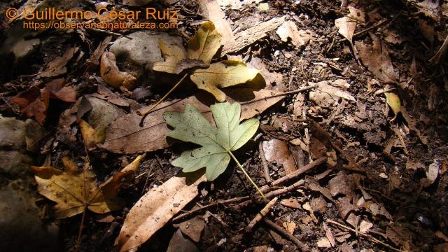 Rastros de flora...hojas de arce menor, Acer campestre, camino del Faro del Caballo, Monte Buciero, Santoña