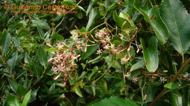Zarzaparrilla, Smilax aspera, liana de hojas espinosas típica de los encinares cantábricos
