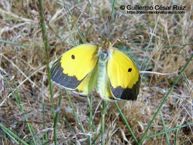 Amarilla o mariposa de la alfalfa, Colias crocea