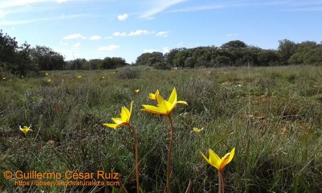Burillas o tulipanes silvestres, Tulipan sylvestre subsp. australis en la Cantera del Agua