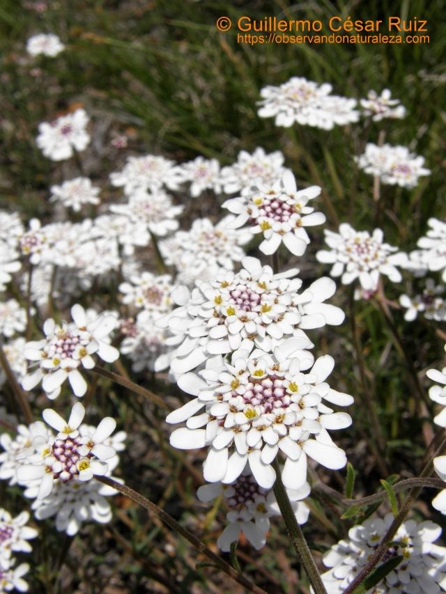 Carraspique o cestillo de plata, Iberis ciliata subsp. ciliata