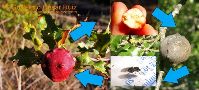 """Ciclo biológico """"mosca del quejigo"""" Cynips coronatus"""