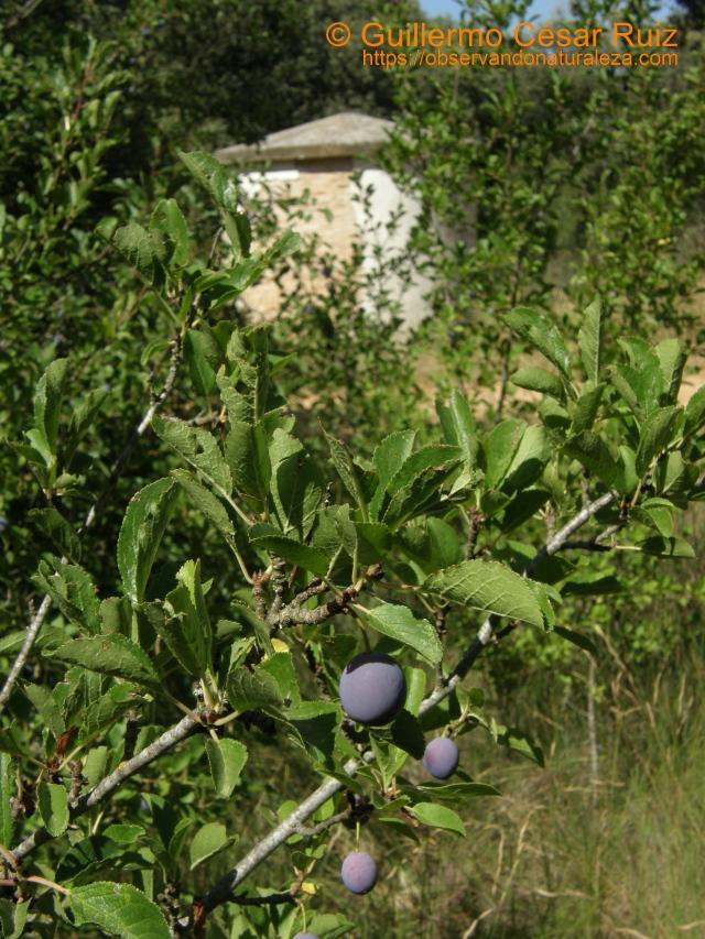 Ciruelo andriniego, Prunus insititia
