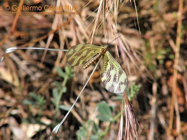 Duende, Nemoptera bipennis