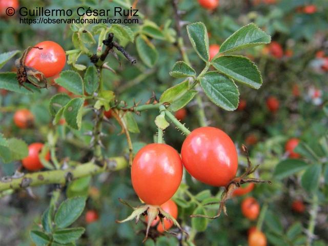 Tapaculos, fruto del escaramujo o rosal silvestre, Rosa canina