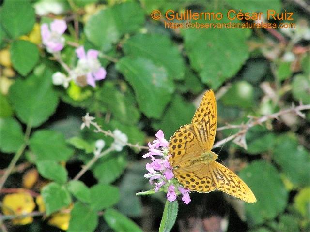 Nacarada, Argynnis paphia