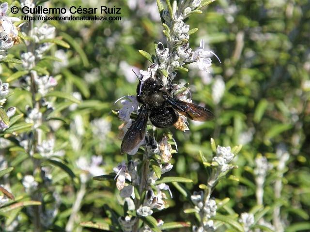Abejorro carpintero o abejorro azul, Xylocopa violacea