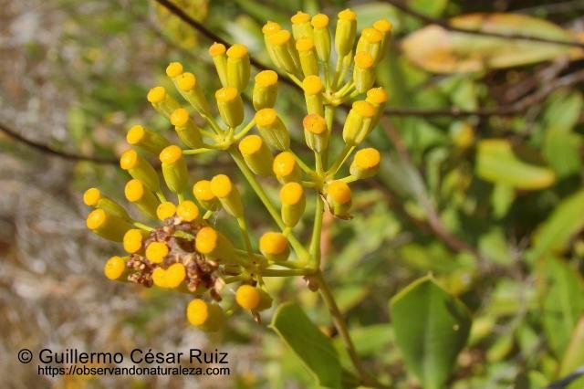Adelfilla Bupleurum fruticosum