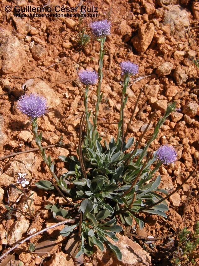 Cabezuelas, Globularia vulgaris