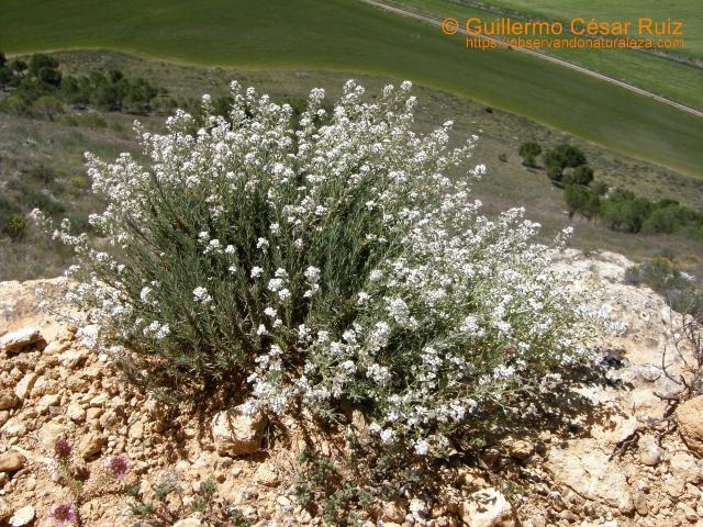 Chucarro blanco, Lepidium subulatum