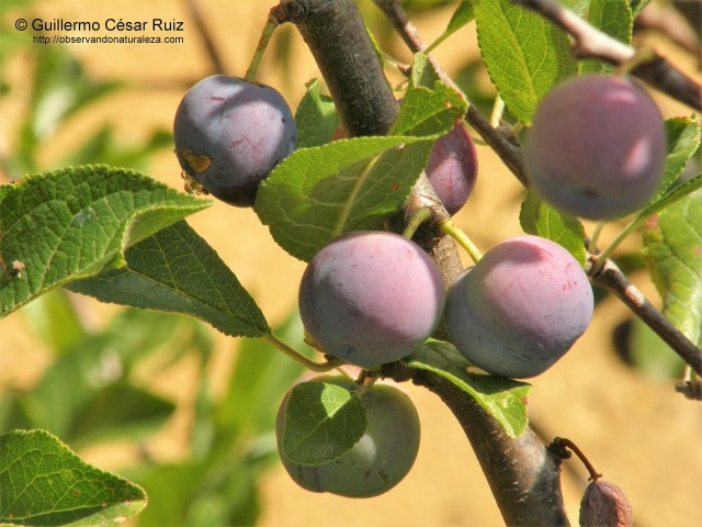 Ciruelo andriniego, Prunus insititia (2)
