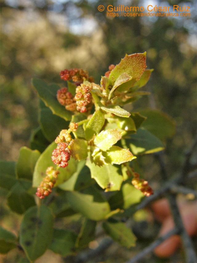 Cusculla o coscoja, Quercus coccifera