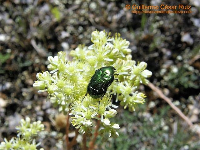 Escarabajo de las rosas, Cetonia aurata