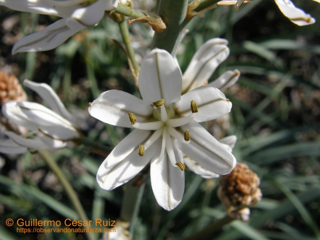Gamón, Asphodelus albus (2)