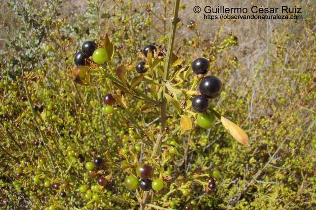 Jazmín de monte, Jasminum fruticans