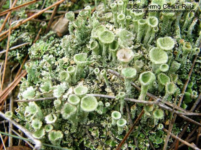 Cladonia pyxidiata (2)