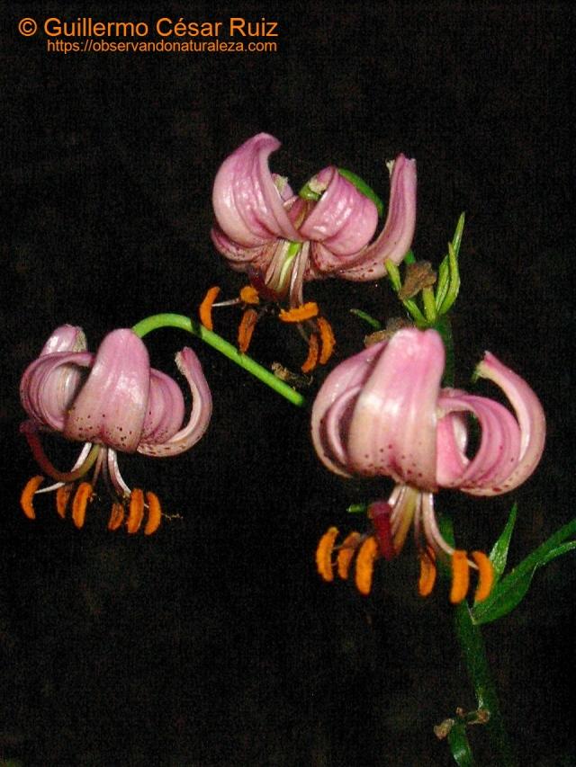 Acibre o martagón, Lilium martagón