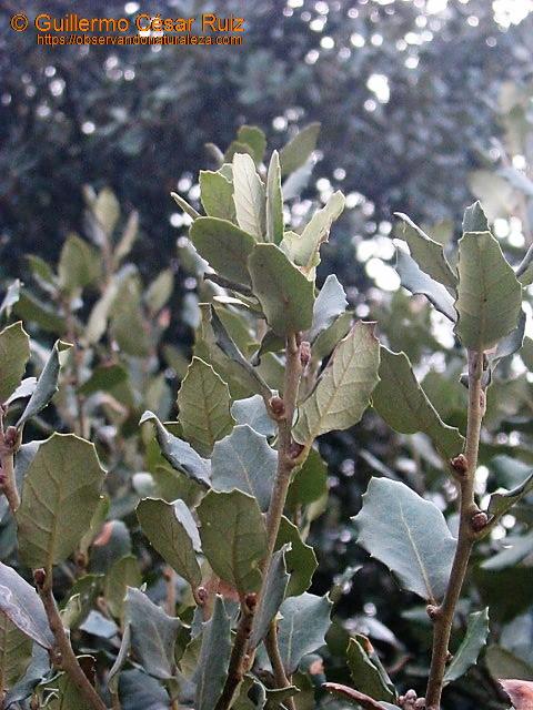 Alguera o polliscu, Quercus x gracilis
