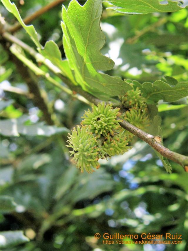 Carbayu turcu, Quercus cerris