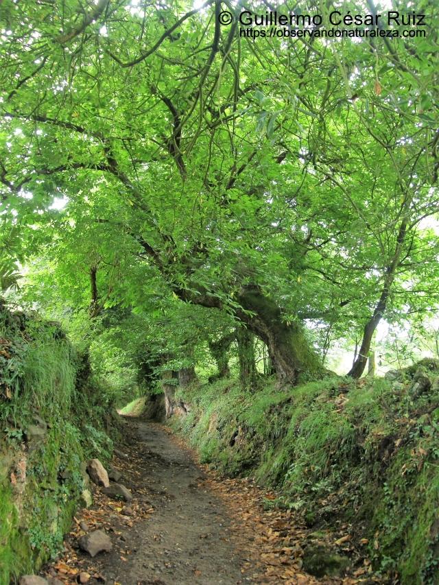 Castañeos camino a Naranco y San Miguel de Liño o Lillo