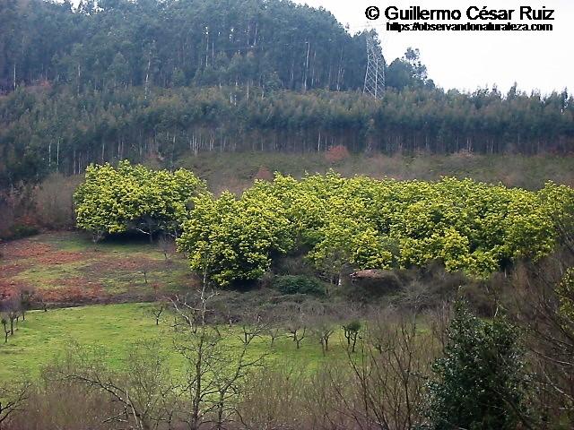 Plantaciones de mimoses, Alcacia dealbata, pumaradas o pomaradas, Malus  domestica y ocalitos, Eucalyptus globulus
