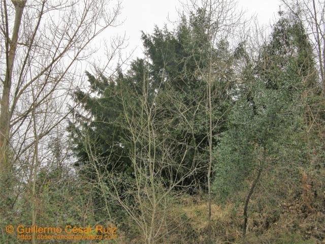 Centenario texu o tejo (Taxus baccata), amenazado en Los Trapones